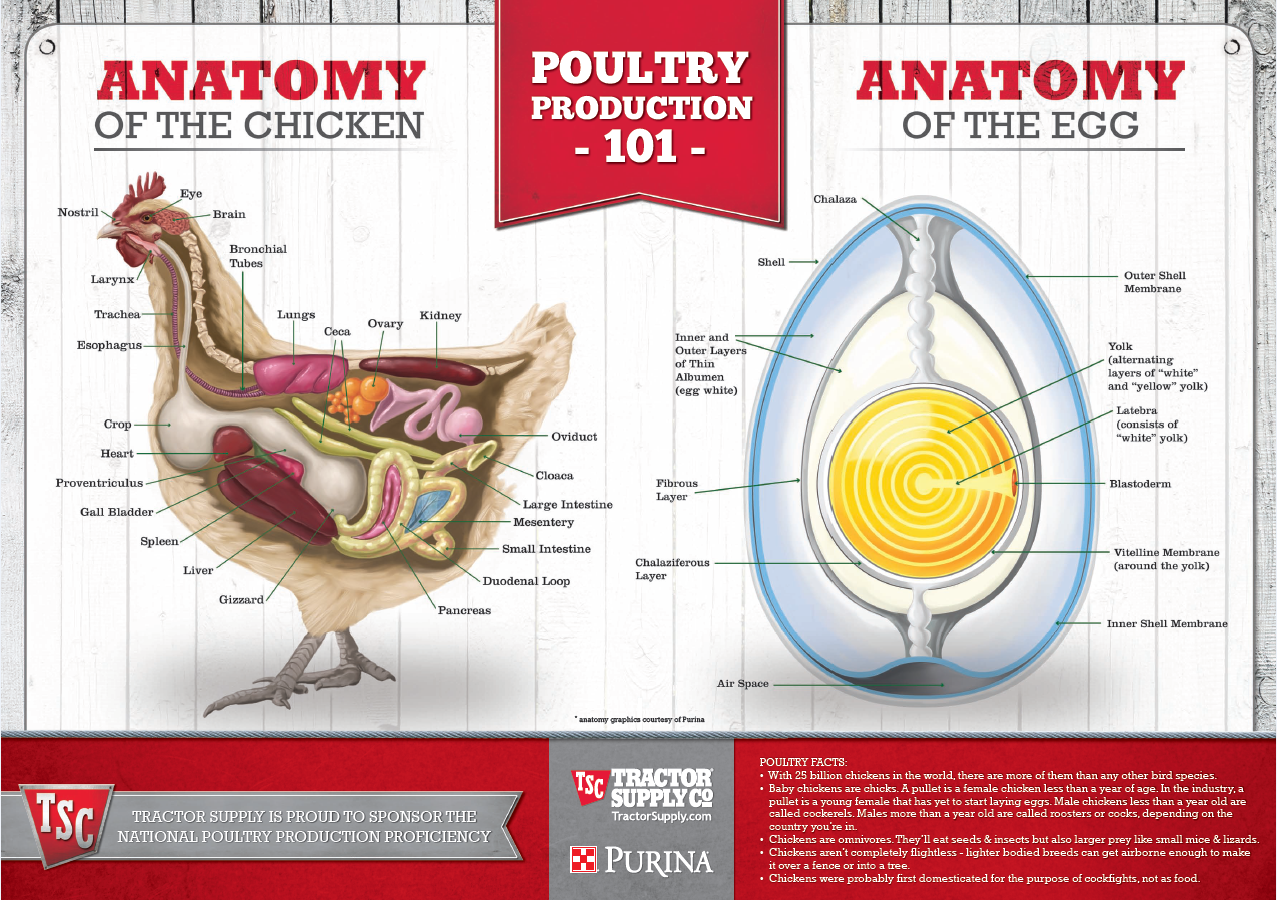 Anatomy of the chicken & anatomy of an egg! Educational poster + ...