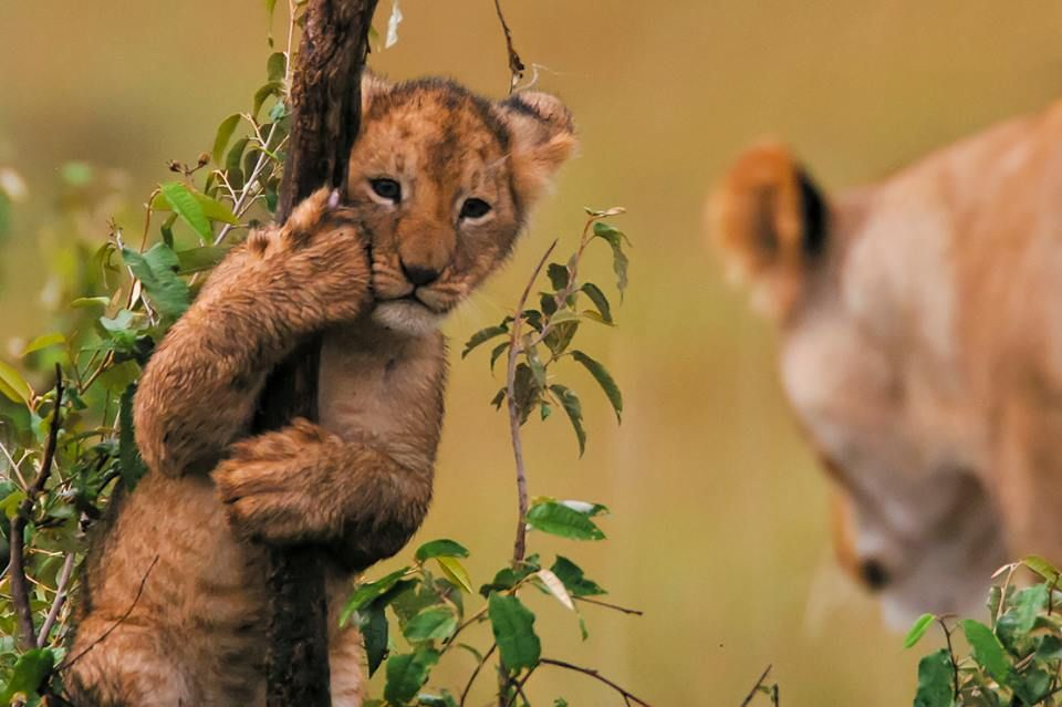 Get down son . . . you're a lion, not a bear....lol