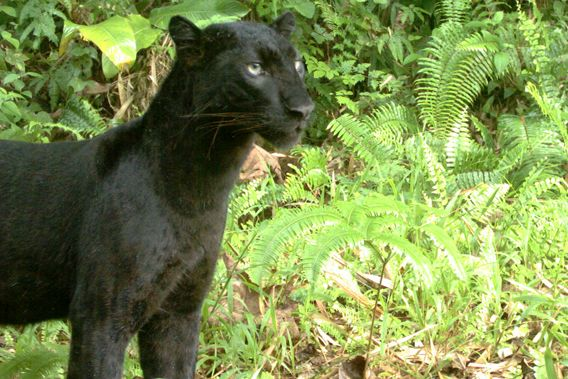 Sumatra Black Panther Or Black Leopard Actually These Is Not A Real