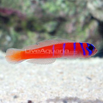 Saltwater Aquarium Fish For Marine Aquariums Catalina Goby Saltwater Fish Tanks Marine Fish Tanks Marine Aquarium