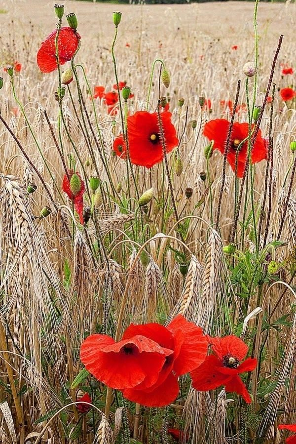 Wild Poppies in the Wheat Field I'll never tire of looking at blood red poppies.