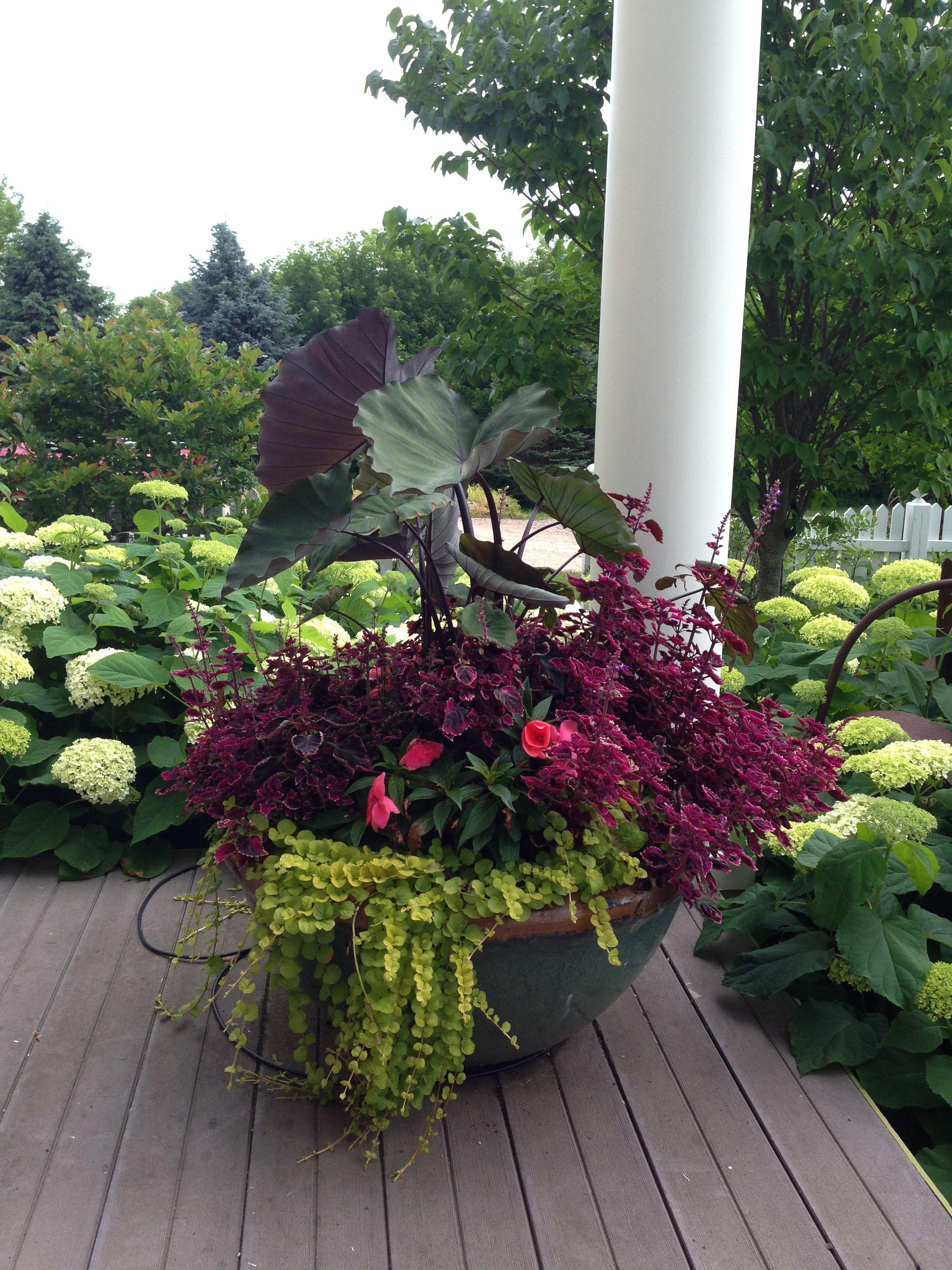 Summer annual flower planter colocasia lysamachia for Annual garden designs