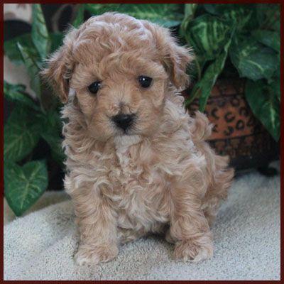 Poochon Bichon Poodle Puppies for Sale Nursery 2 Iowa