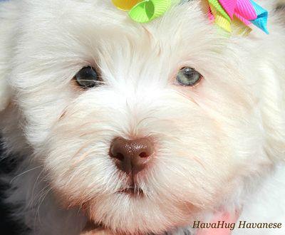 Photo Gallery Part Ii Havanese Puppies Havanese Havanese Puppies For Sale