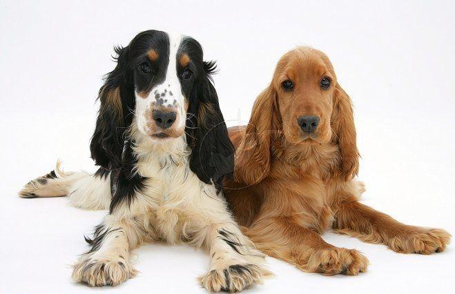 Pin Van Mili Mili Op Cocker Spaniel Cocker Spaniel Honden Huisdieren