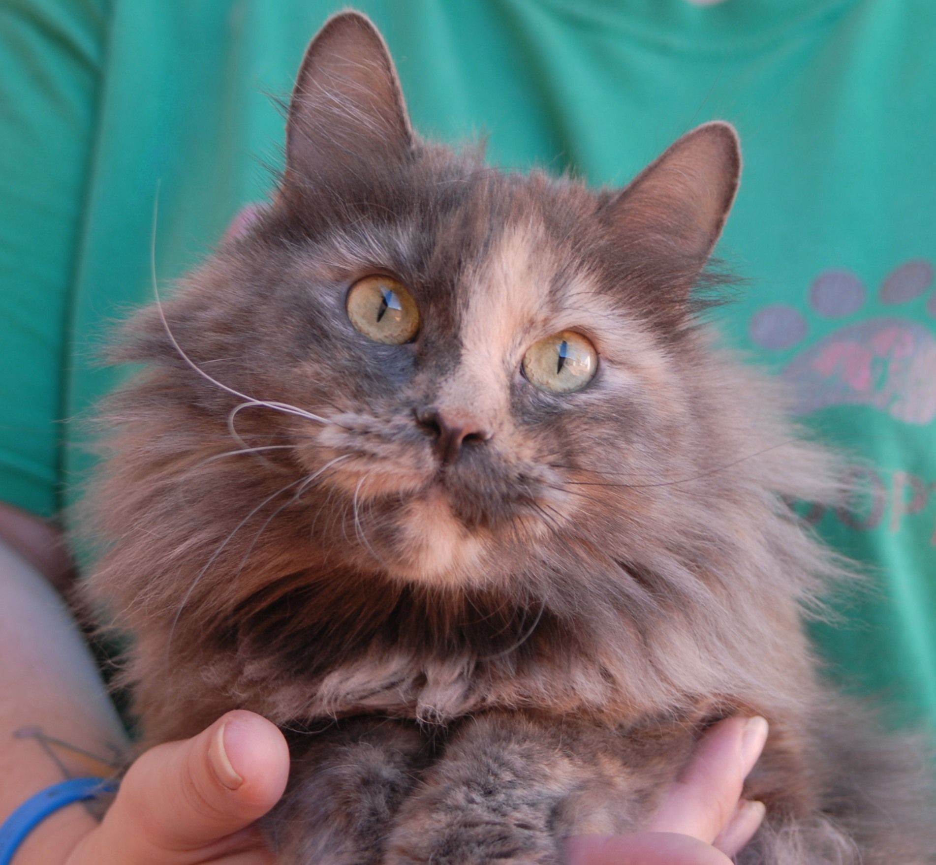 Cher Is A Young Superstar In Appearance And Lovebug In Personality Favored Activities Include Being Held Brushed And Cat Adoption Dog Adoption Pet Adoption
