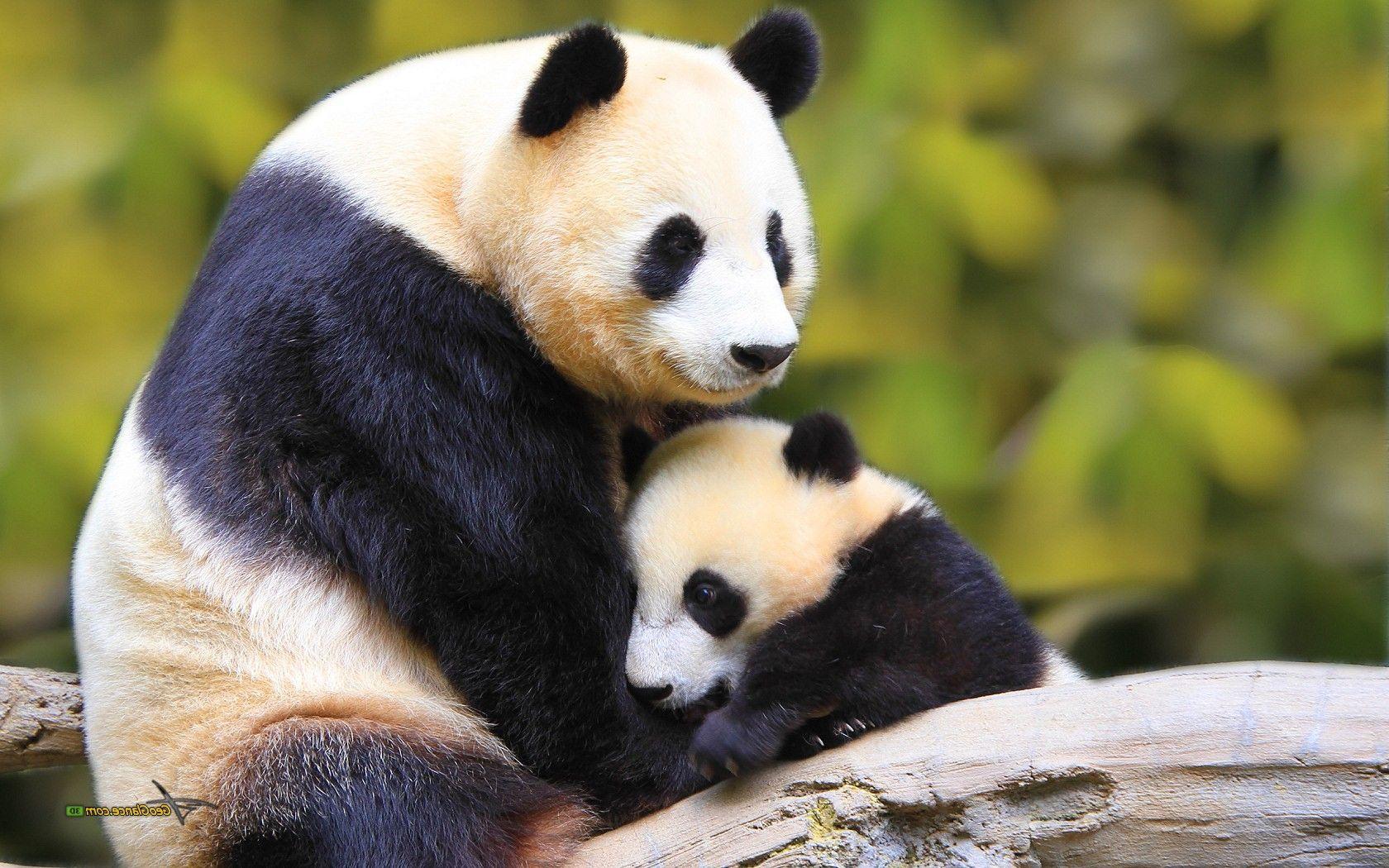 Cute Baby Panda 1680 1050 Panda Bear Baby Panda Baby Panda Bears