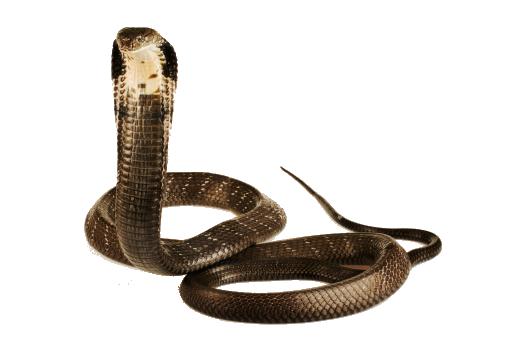 Cobra Snake Png Image Png Mart King Cobra Cobra Snake Snake