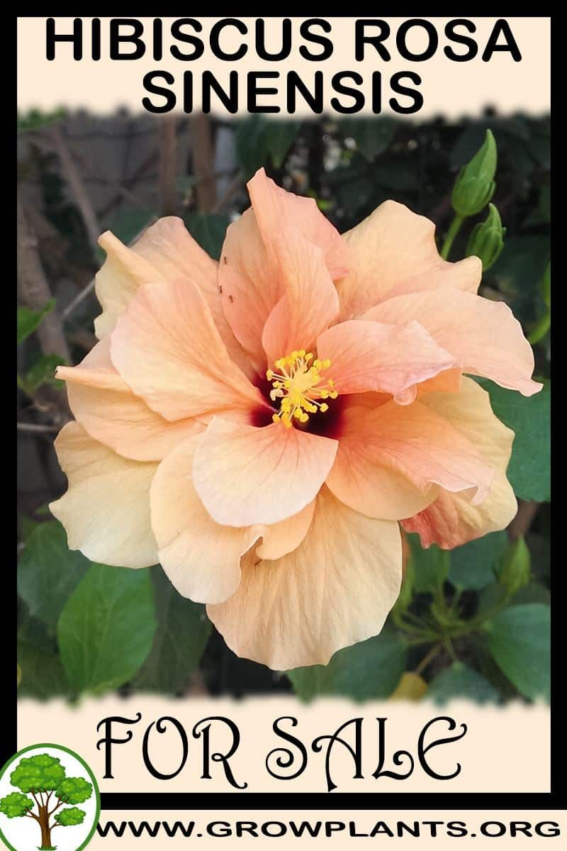 Hibiscus Rosa Sinensis For Sale Grow Plants Gardening All Need To Know Before Buy This Plant Tips Amoun In 2020 Hibiscus Rosa Sinensis Garden Soil For Sale Plants