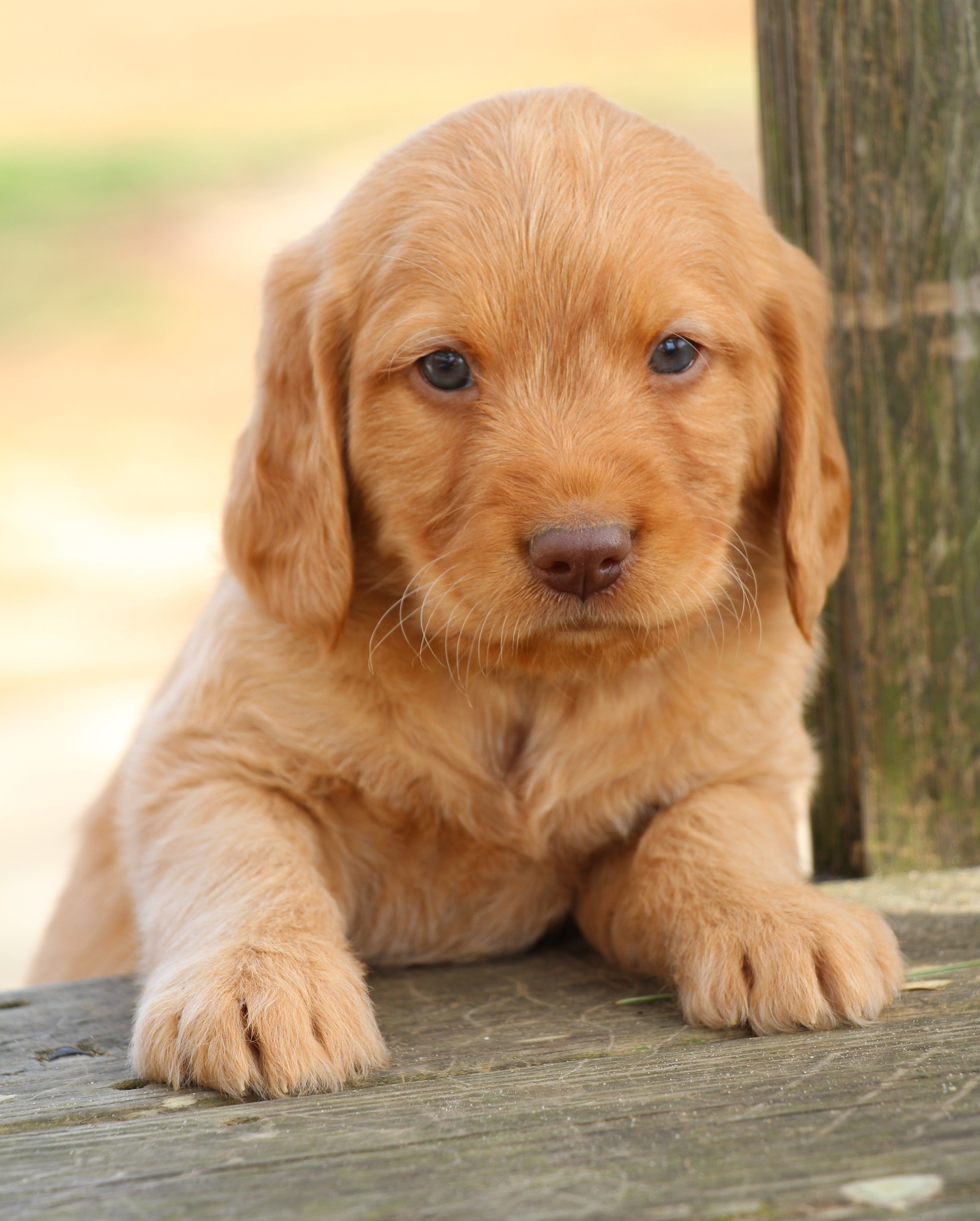 Pin by Grace on Cute puppies Labradoodle puppy, Puppies