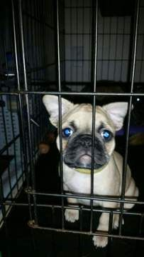 Litter Of 6 Frenchie Pug Puppies For Sale In Providence Ri Adn