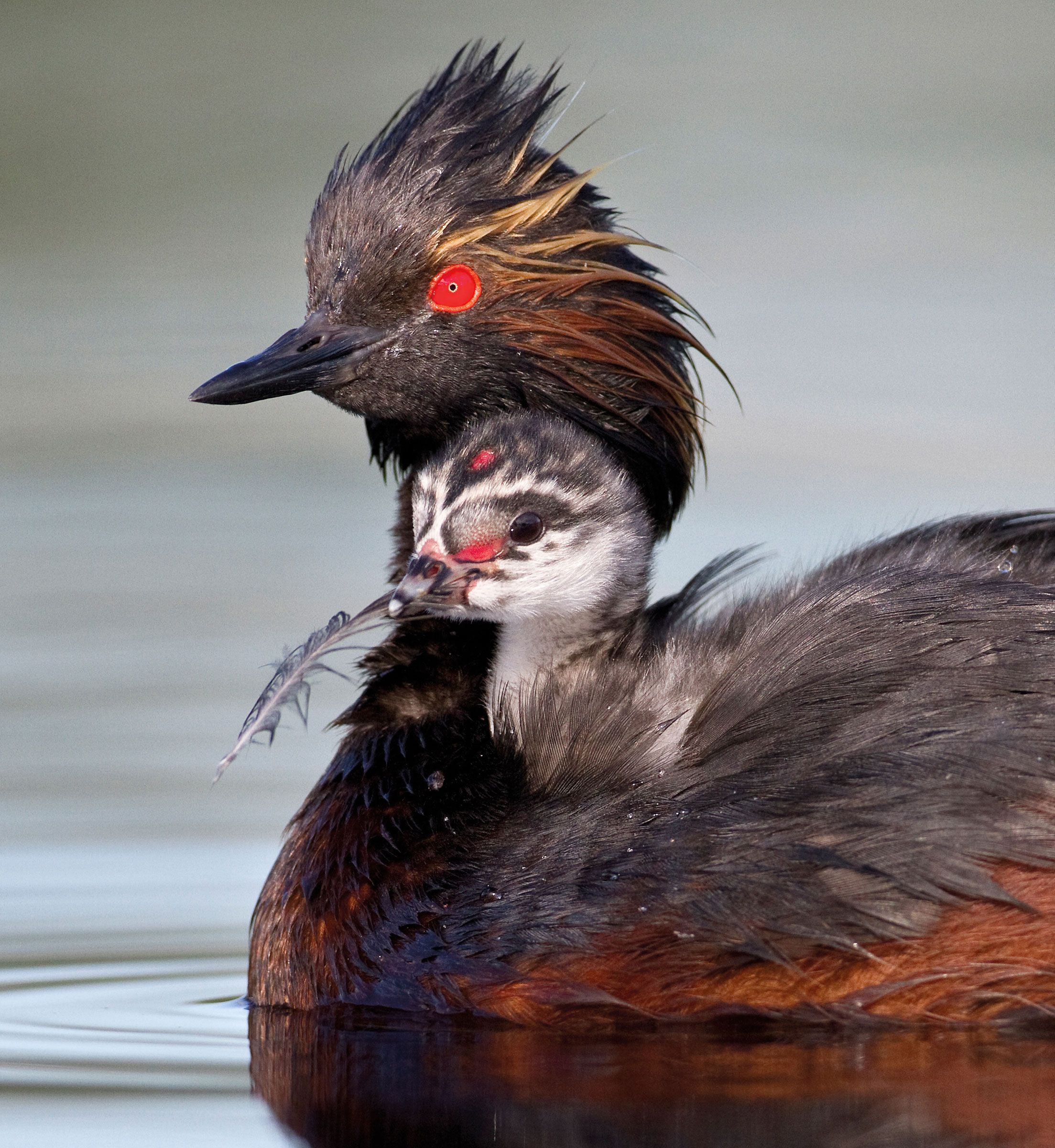 Eared Grebe (Podiceps nigricollis) Grebes are doting parents, carrying their…
