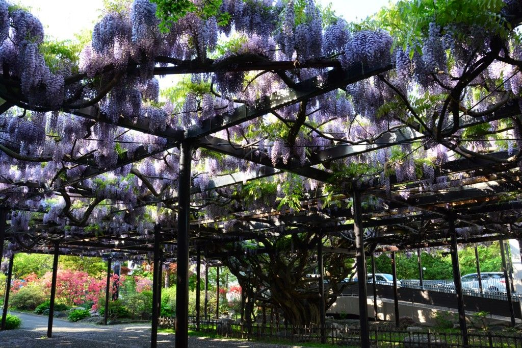 【 當紫藤花開在北海道時   When wisterias flowering in Hokkaido 】 札幌 ...