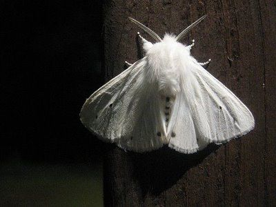 White Ermine Moth That Came To Visit Me Last Night Whilst Boxing