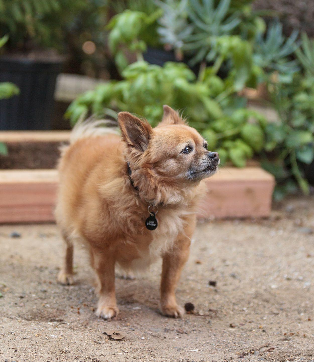 Pomchi A Guide To The Pomeranian Chihuahua Mix Pomeranian