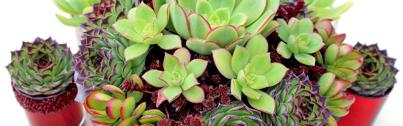 Wedding & Event Succulents | Mountain Crest Gardens | Succulent ...