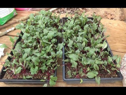 how to grow beets indoors