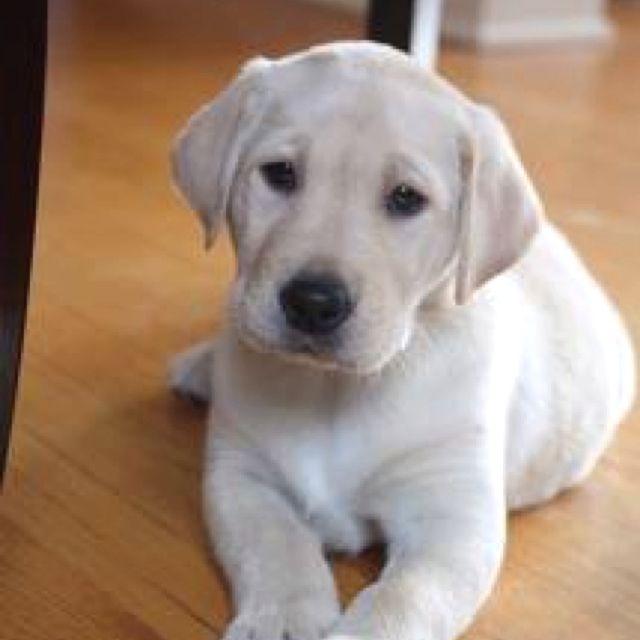White Lab Lab Puppies Lab Puppy Yellow Lab Puppies