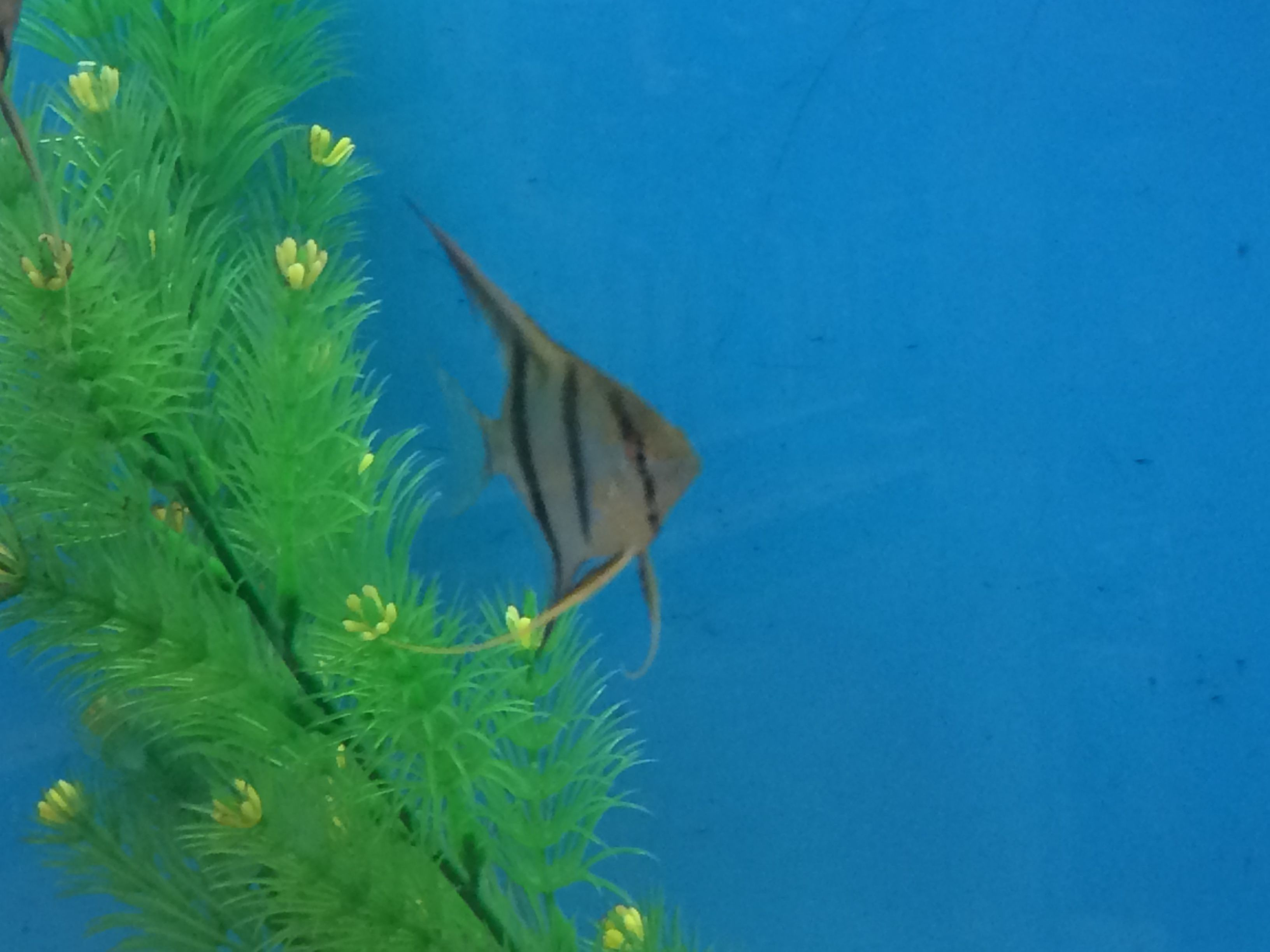 Smaller angelfish can be found at PetSmart on sale for $5