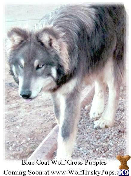Pin By She Wolfheart On Wolf Dogs Wolf Dog Wolf