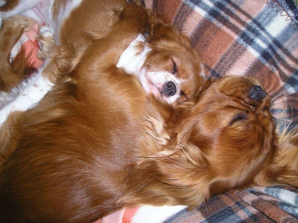 Adorable Cavaliers King Charles Dog King Charles Cavalier Spaniel Puppy Cavalier King Spaniel