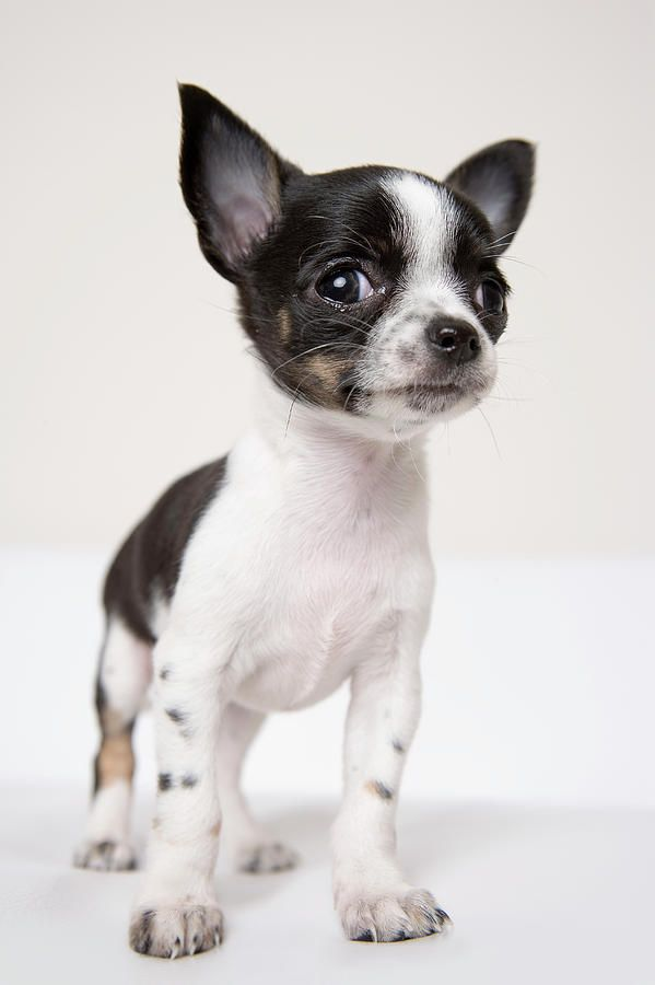 Chihuhua Puppy We Had A Black And White Named Lady Bird Named