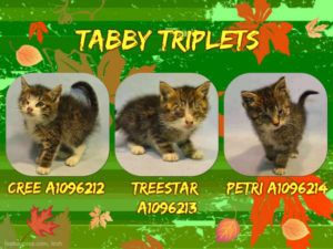 Tabby Triplets A1096212 A1096213 A1096214 Tabby Triplets Kittens