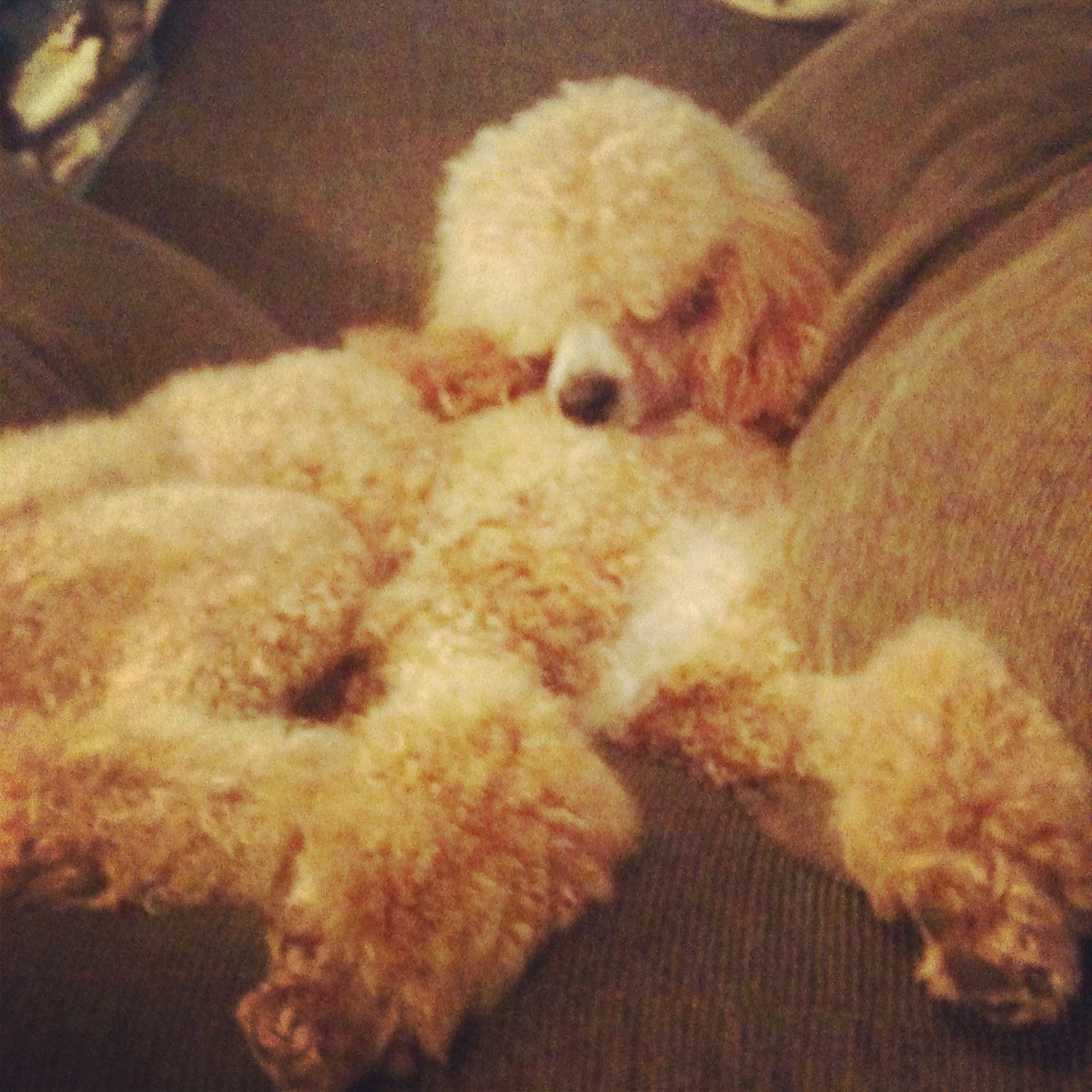 Bingly - Jane Austen Standard Poodles