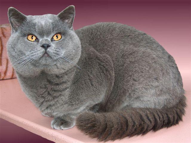 Beautiful Cat Breeds Here The List Of 14 Most Beautiful Cat Breeds In The World Beautifulcatbreeds Ca British Blue Cat British Shorthair Kittens Cat Breeds