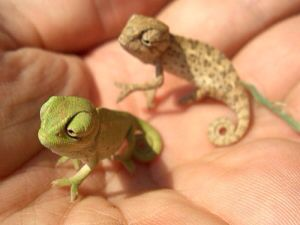 Baby chameleon, my favorite reptile.