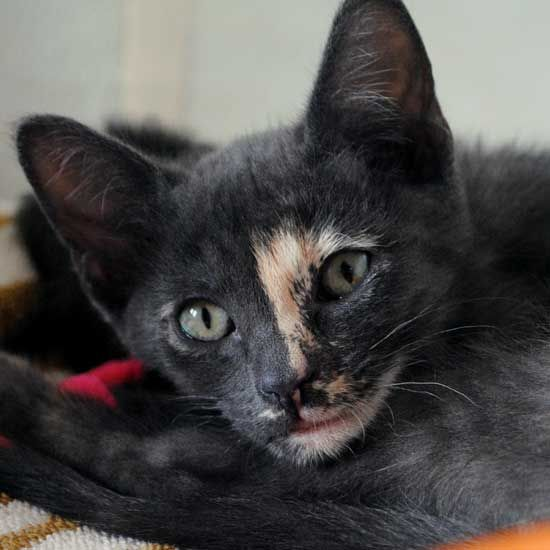 Adopt A Pet Cat Adoption Baby Cats Animals