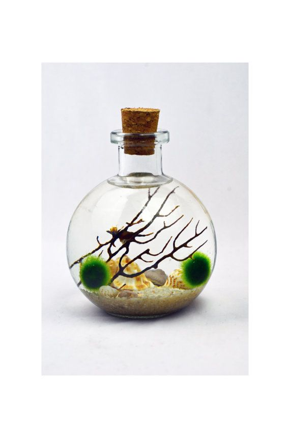 Bottle Terrarium Marimo Japanese Moss Ball By Pinkserissa 24 00