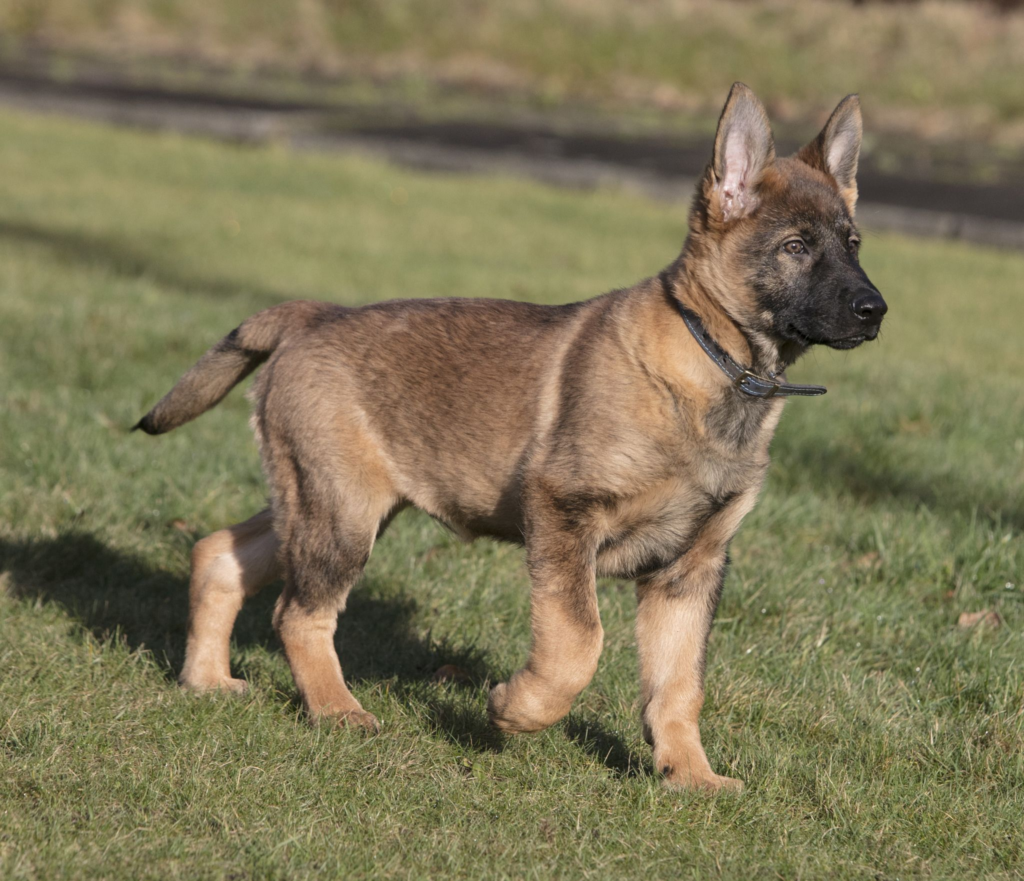 Bokka In Training Police Dogs Manchester Police German