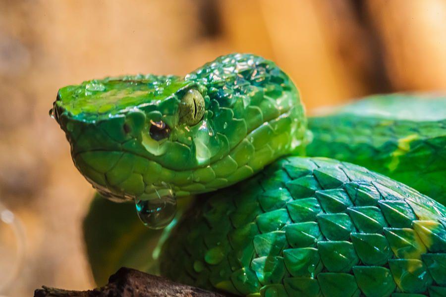 Chinese Green Tree Pit Viper (Trimeresurus stejnegeri) is a