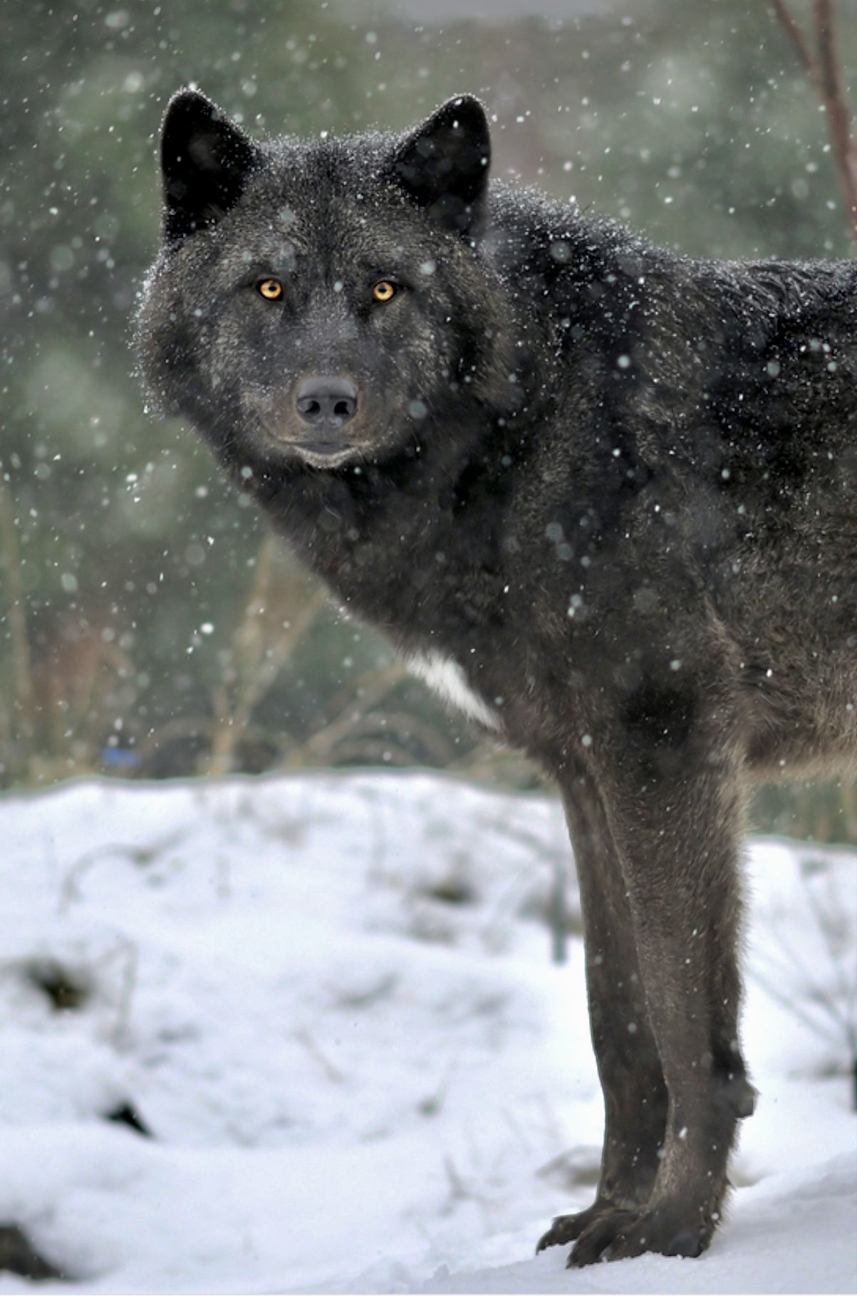 фотографии черных волков размещают зону