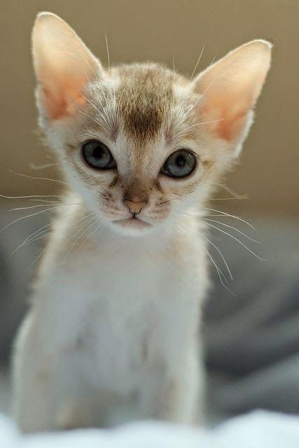household top 5 most intelligent cat breeds breed 01 singapura #catmeow - Catsincare.com!