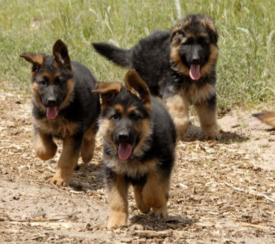 German Shepherds Can Be A Variety Of Colours The Most Common Of Which Are Tan Black And German Shepherd Puppies