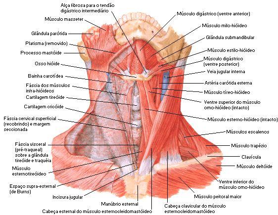 Músculos do Pescoço | Anatomia ❤ | Pinterest | Músculos, Anatomía y ...