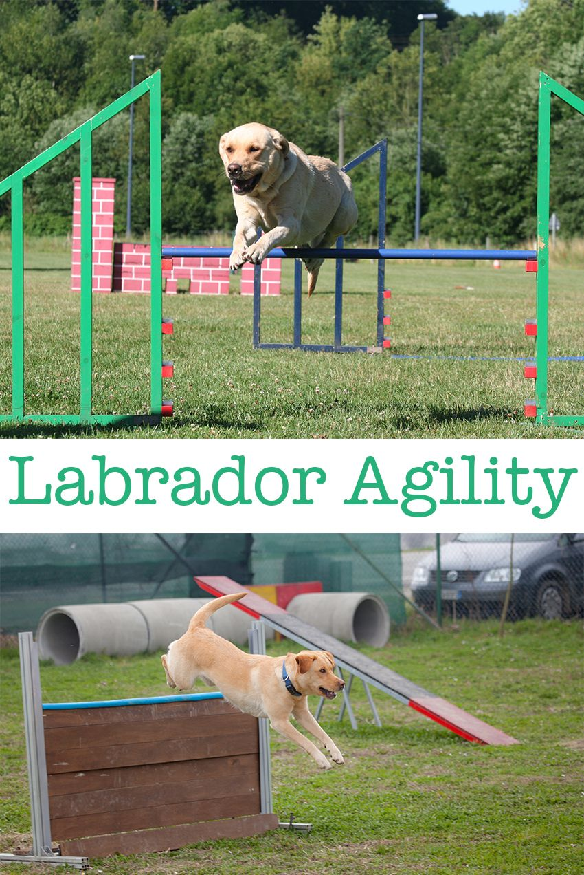 Dog agility equipment the labrador site labrador