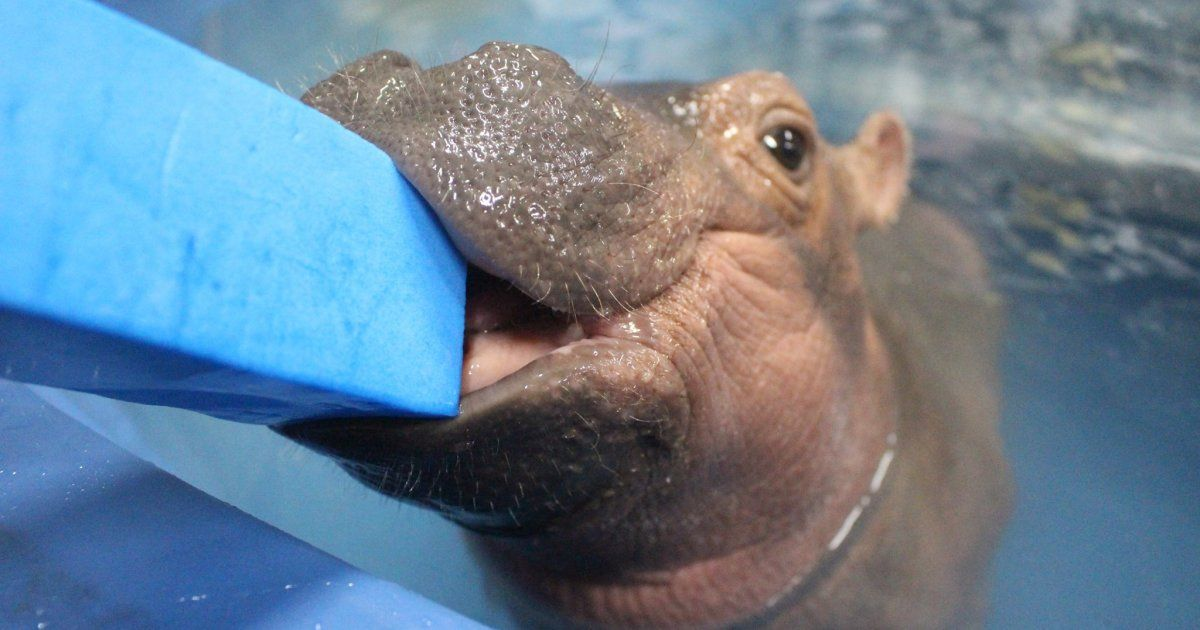 Meet Fiona The Baby Hippo, Whose Full-Time Job Is To Be Adorable #babyhippo