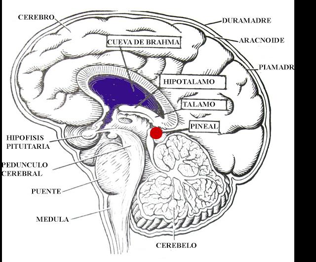 Pineal gland gif manera de un link dentro de nosotros ms pineal gland in brain diagram pineal gland gif manera de un link dentro de nosotros ms exactamente desde nuestra ccuart Gallery