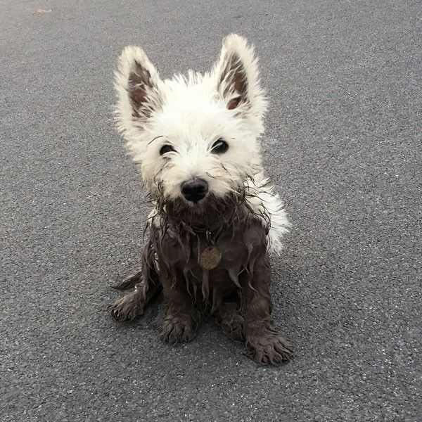 West highland terrier puppies westies from your friends at phoenix dog in home dog training - Pictures of westie dogs ...