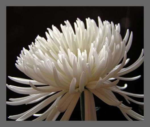 White spider mum we will also have one of these in the tall 24 flowers white spider mightylinksfo
