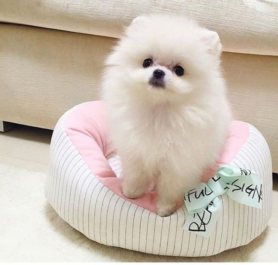 Photo of Pomerania