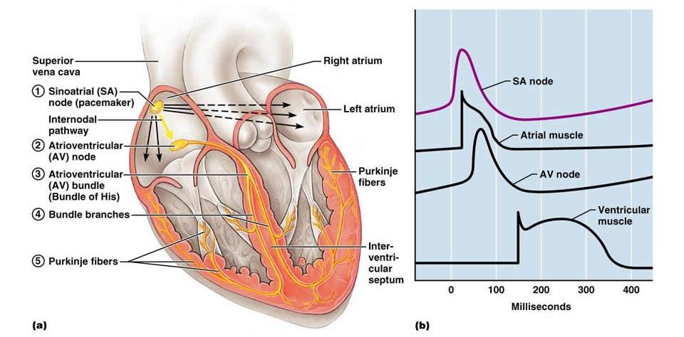 The Cardiovascular System The Heart Cardiovascular System
