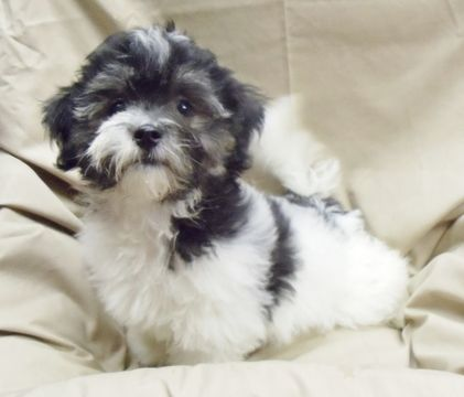 Havanese Puppy For Sale In Winston Salem Nc Adn 42254 On Puppyfinder Com Gender Male Age 12 Weeks Old Havanese Puppies For Sale Havanese Puppies Havanese