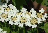 Mariesii doublefile viburnum's blooms line up in double-file.