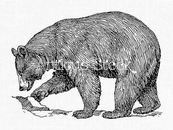 American Black Bear Old Image Bear Line Art Drawing Antique Illustration By Antique Stock Bear Drawing Line Art Drawings American Black Bear