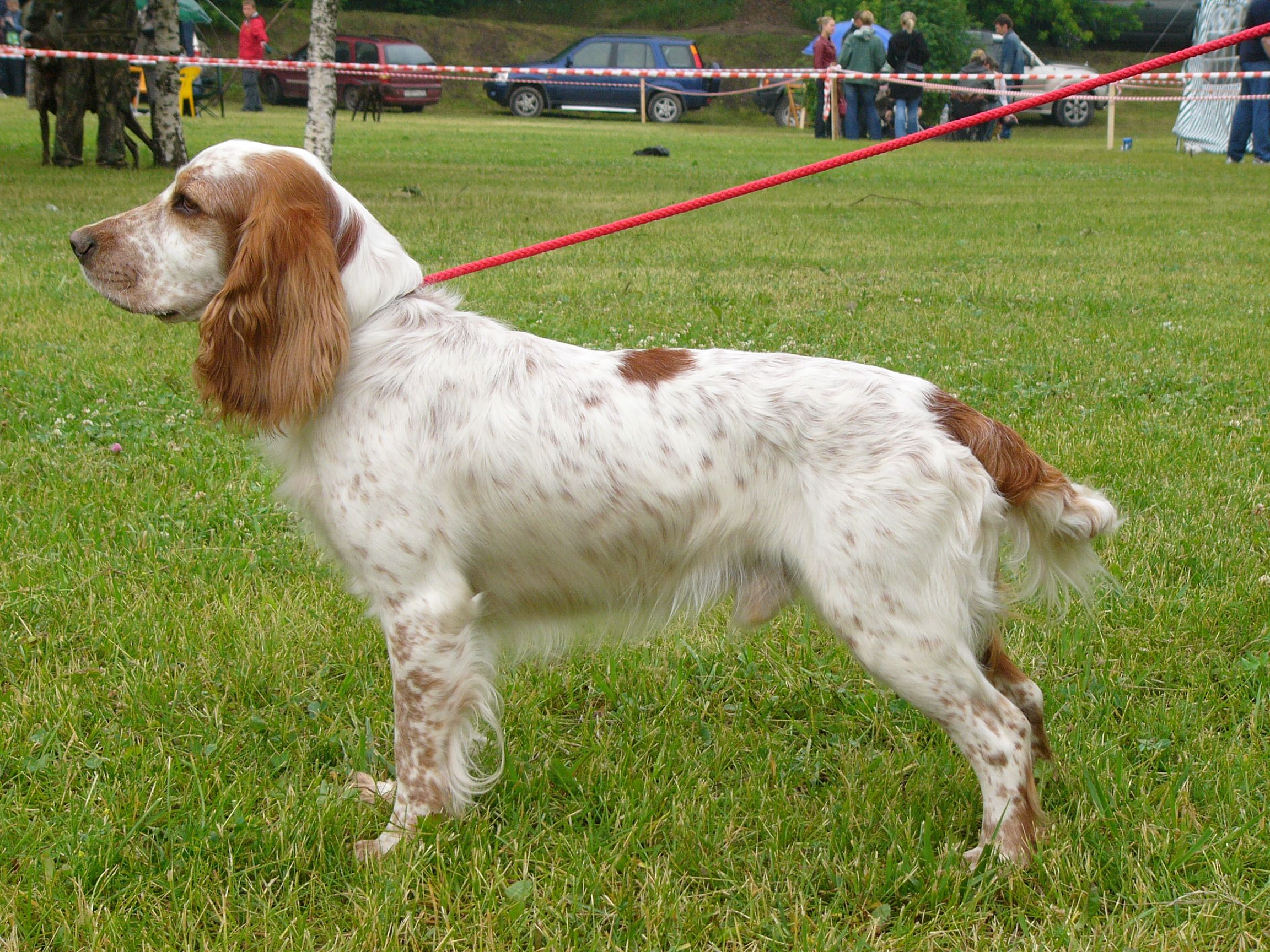Russian hunting spaniel: characteristic and description of the breed. Photos and reviews 40