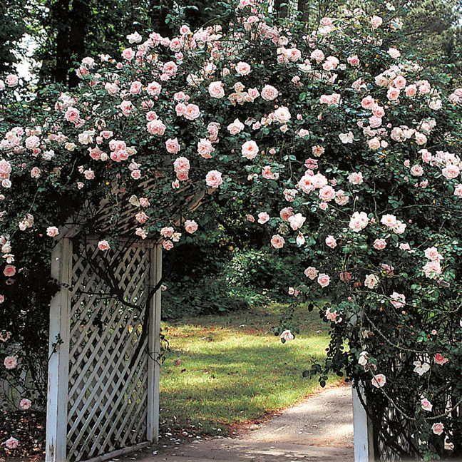 vorrei consigli per spostare la New Dawn  Forum Giardinaggio  Rose  Rose  Giardinaggio Giardino och Primavera